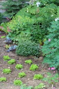 lettuce in flower garden
