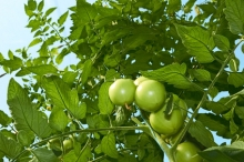 Green tomatoes from below