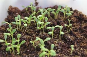Seeds planted in a re-purposed milk jug.
