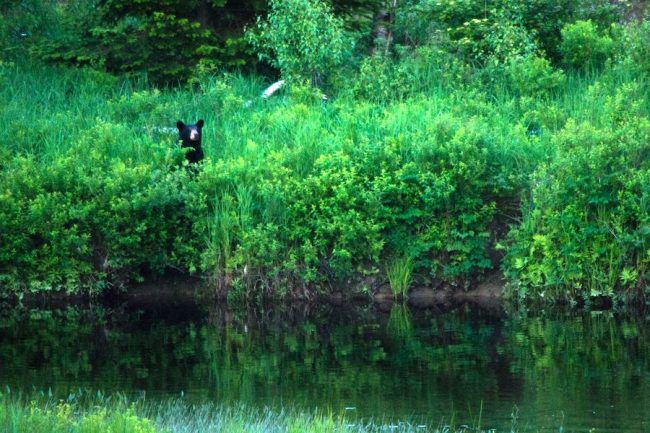Black bear next to the river
