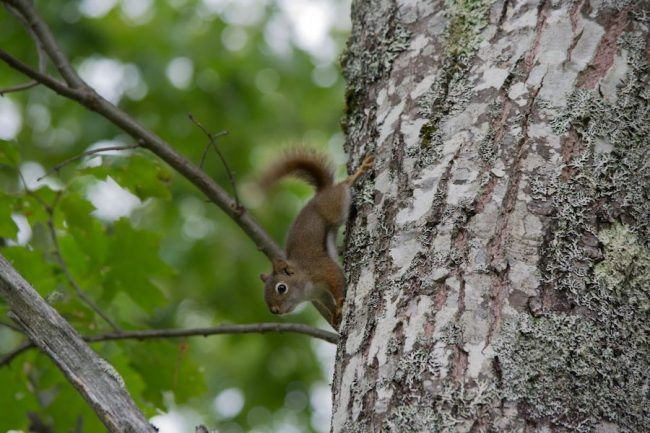 red squirrel climbing on tree