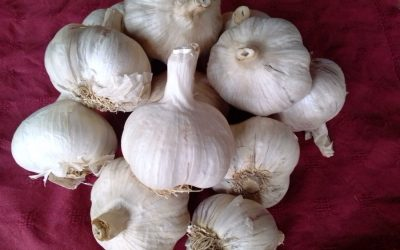 How to Grow Garlic Greens and Bulbs