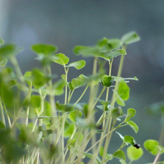 Close up of Microgreens