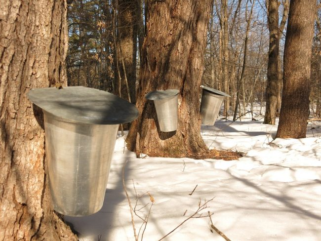 Maple trees getting tapped for syrup