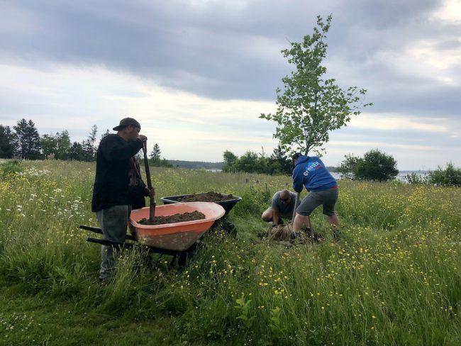 Three men planting a maple tree