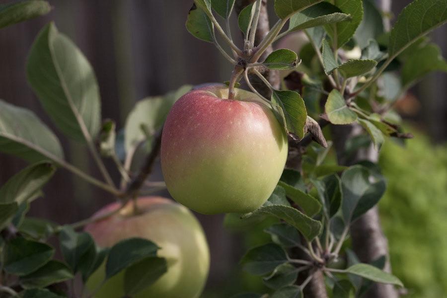 clsoe up of apple tree